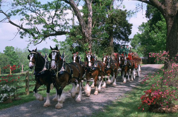 meet the budweiser clydesdales were introduced