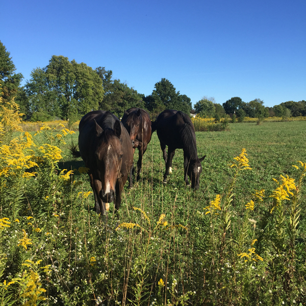 three thoroughbred horses in pasture with autumn goldenrod