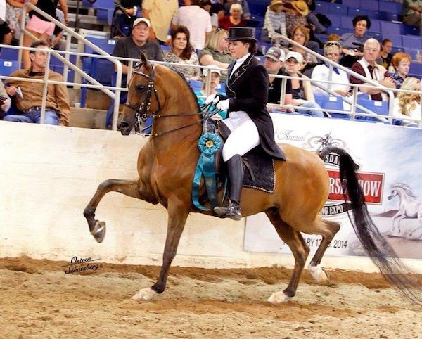 Arabian horse show tack