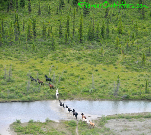 horses on the run alaska