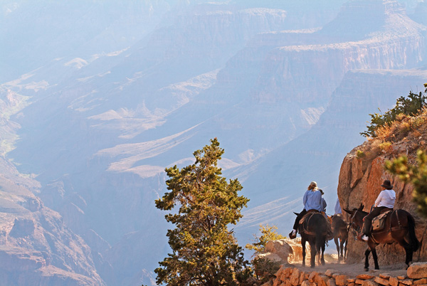 Mule Riding Bright Angel Trail Grand Canyon