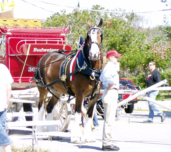 Budweiser Clydesdales horses