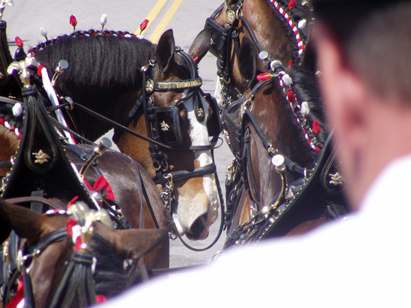 Budweiser_Clydesdale_horses