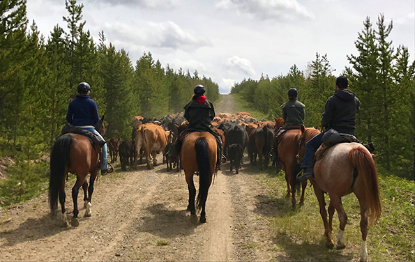Big Creek Lodge BC Cattle Drive
