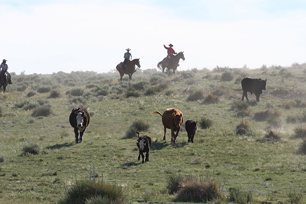 Cattle Drives in Colorado