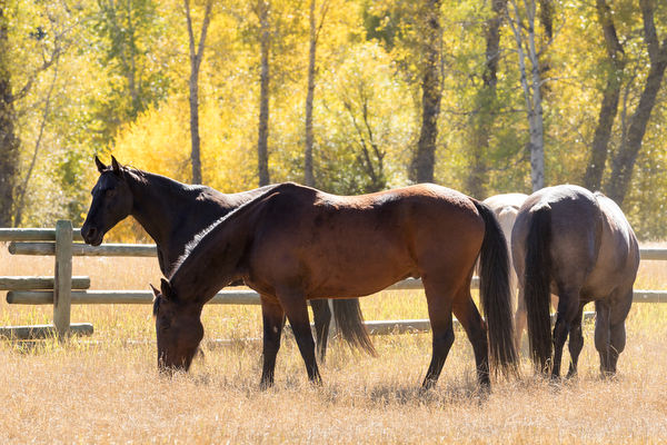 herd of horses in pasture at double t river ranch in montana