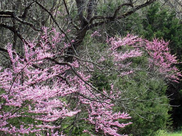 Dogwood trees Shenandoah