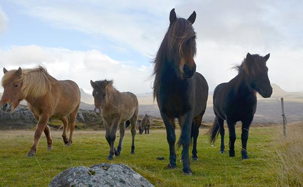 icelandic horses in iceland