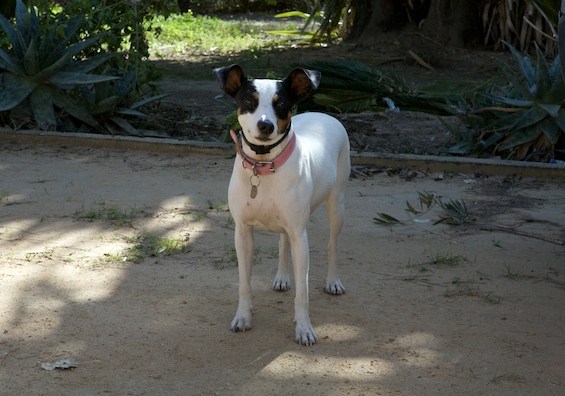Parson Jack Russell Terrier on ranch in Spain