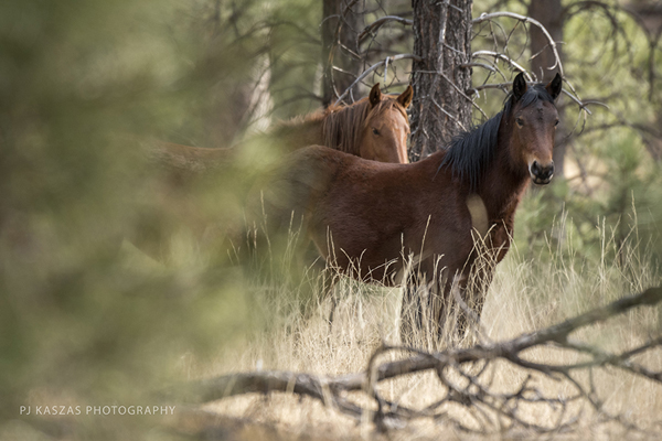 Heber mares in Apache Sitgreaves National Forests in Arizona
