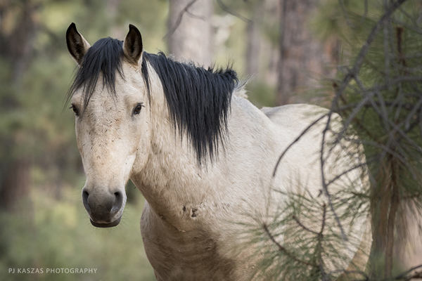 Heber stallion in Arizona's Apache Sitgreaves National Forest