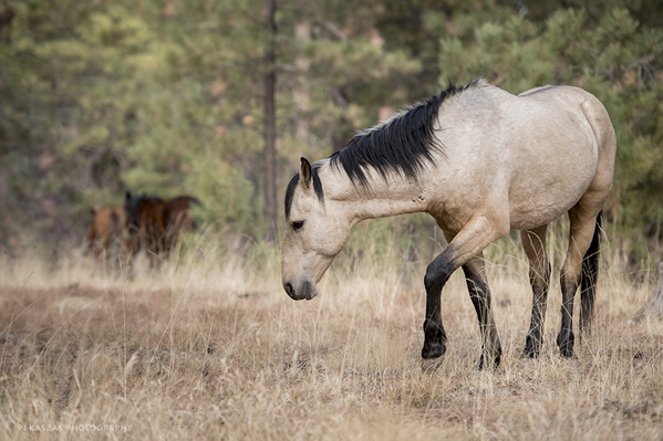 Heber stallion and his mares in Apache Sitgreaves National Forests