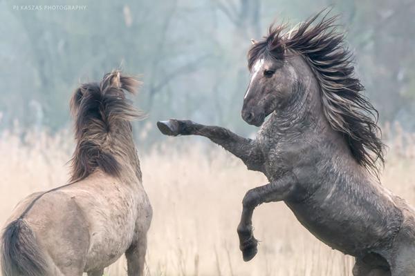 two-konik-stallions-face-off