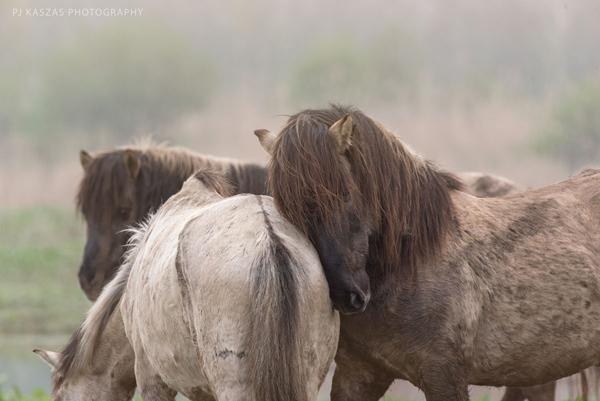 konik stallions in the netherlands