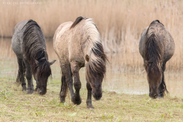wild horses of the netherlands