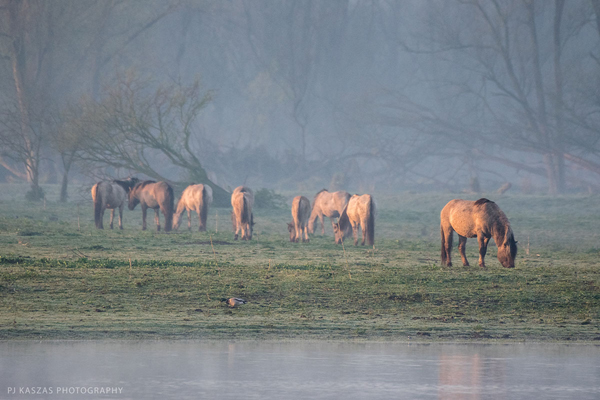 konik horses at sunrise netherlands