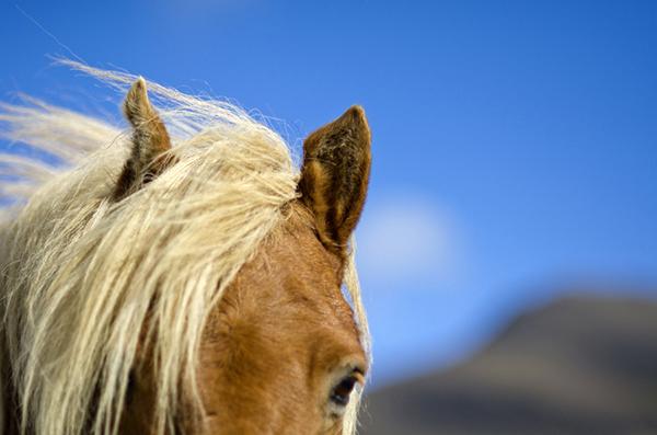 icelandic horses lindsay blatt