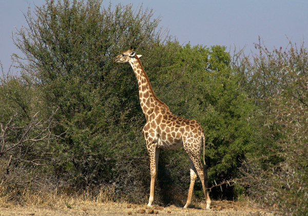 Tuli giraffe in Botswana on safari