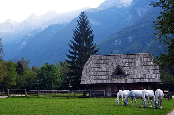 lipizzaners in slovenia