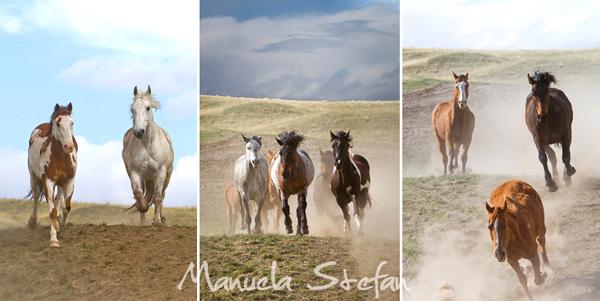 Montana horses running home