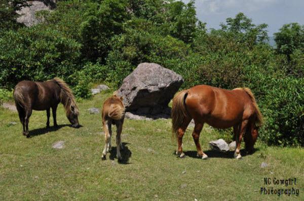 wild ponies Mt. Rogers