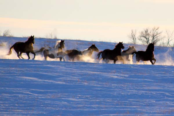 winter horses Jessie Veeder