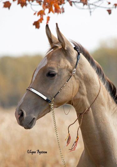 Akhal-Teke horses