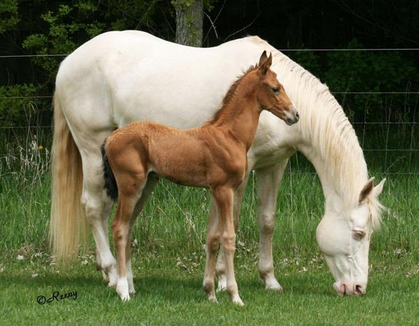 Akhal Teke horse association