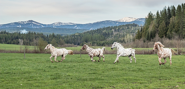 appaloosas running in pasture western pleasure guest ranch