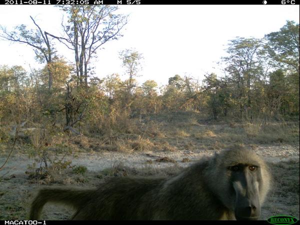 Okavango Delta baboon