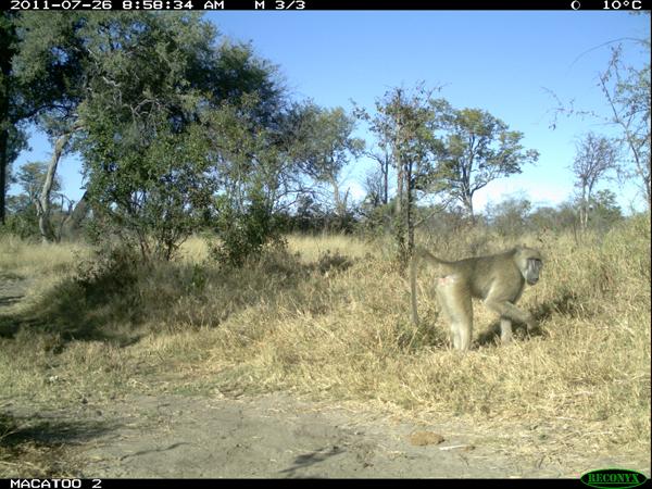 baboon in Okavango