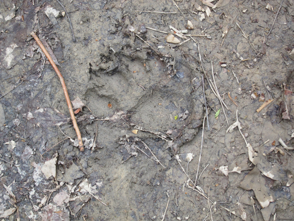 bear tracks on the trail camp creek west virginia
