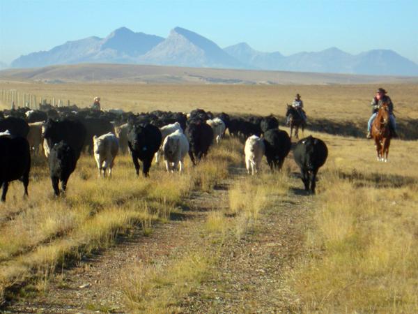 bear creek ranch cattle drives