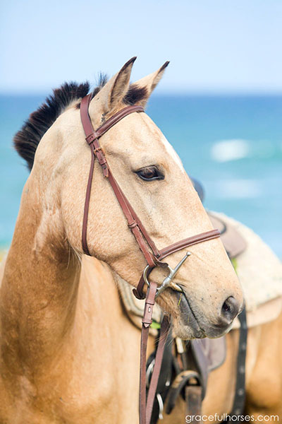 buckskin horse st lucia