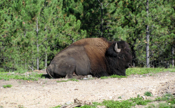 buffalo custer state park