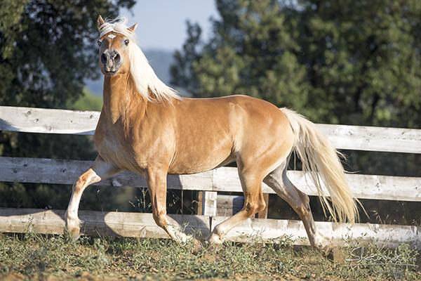 castellare di tonda horses