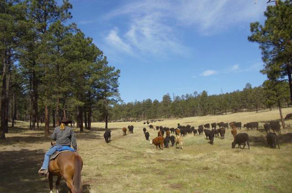 n bar ranch cattle drive nm