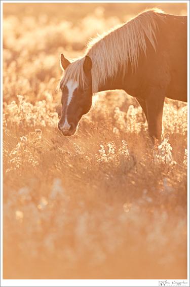 chincoteague wild horse virginia