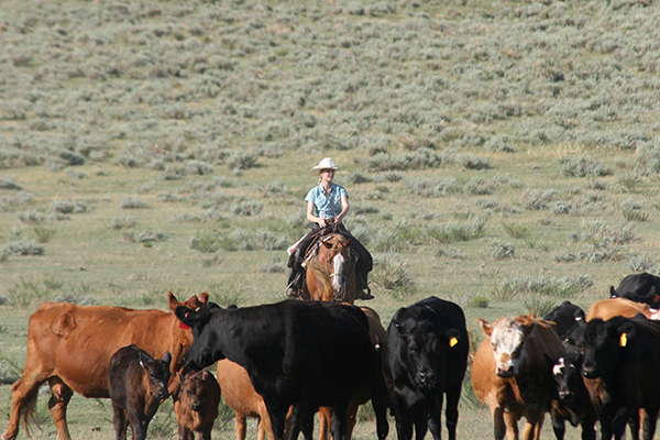 Colorado Cattle Drives