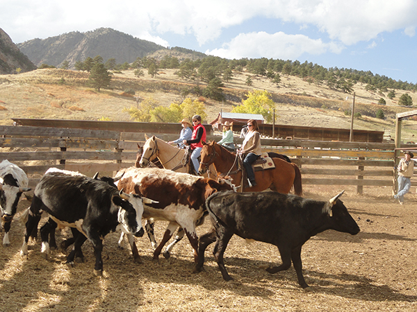 Colorado dude ranch cattle work