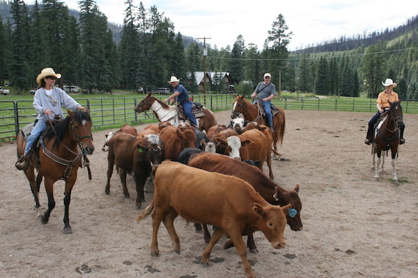 cattle work in Colorado