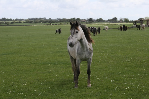 connemara ponies at dartfield horse museum