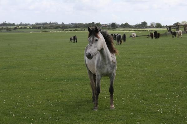 Connemara Pony at Dartfield
