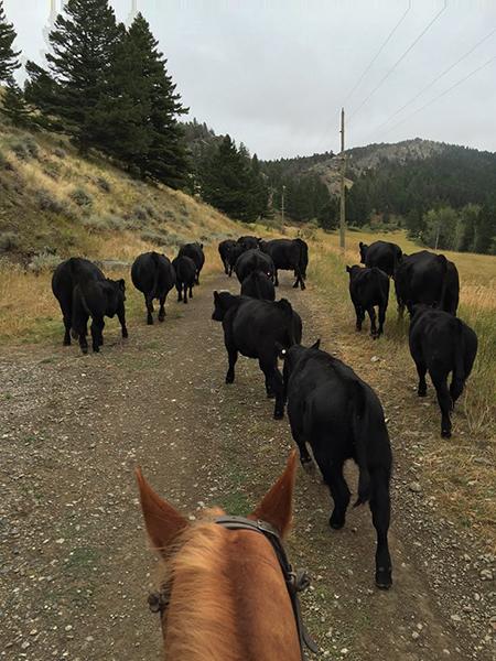 pushing cows at 63 ranch montana