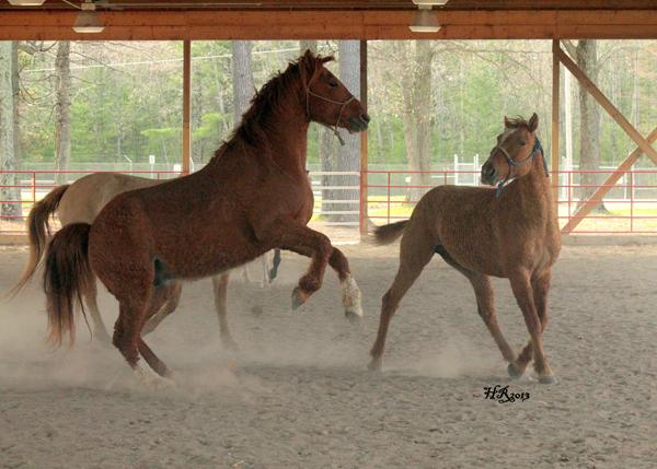 American Bashkir Curly Horses