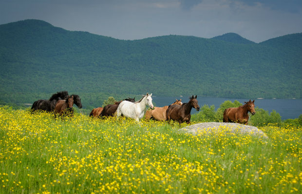 Mountain Top Resort - Vermont - Horses in a Meadow