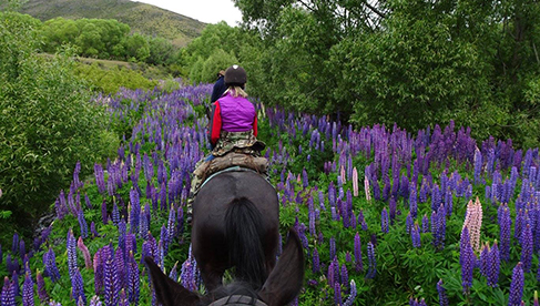 Riding through the lupins in the Southern Alps Musters Mountain Pack Trail New Zealand