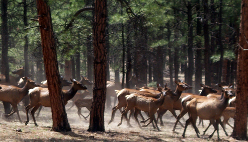 Elk running through the woods at Geronimo Trail Guest Ranch, New Mexico.