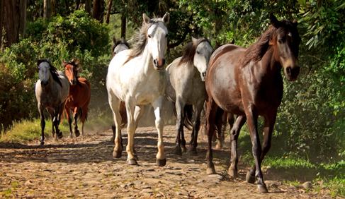 Caracol, Estera and Danzarin at Hacienda Zuleta- Ecuador Riding Vacations