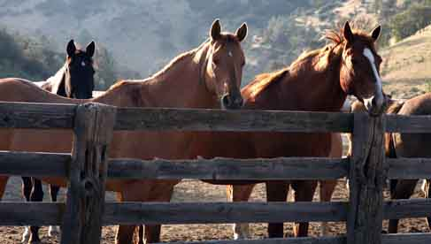 Horses waiting at the fence at Rankin Ranch, a California dude ranch